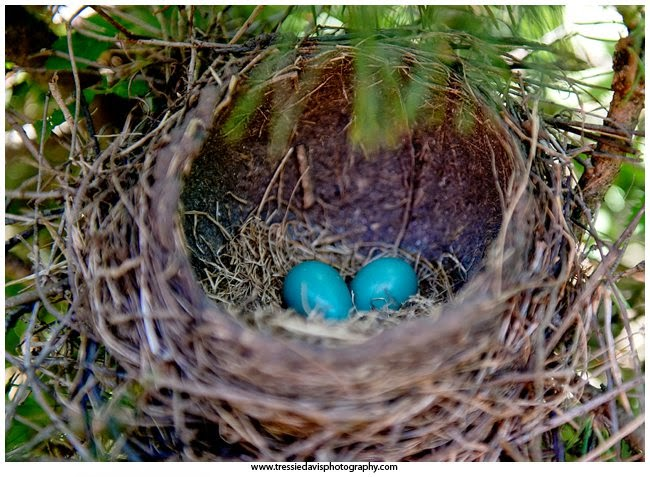 Robin Eggs in Nest - Tressie Davis Photography
