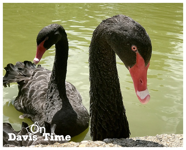 The Creature Conservancy - Hugh and Nicole, the Black Swans